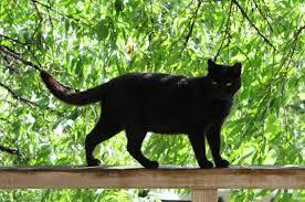 gatto nero credenze stregoneria riti magici